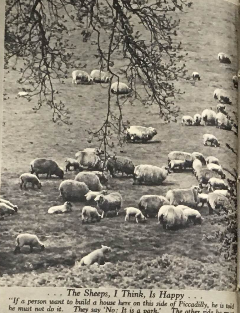 Sheep and lambs on the grass in a London park